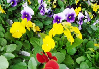 ビオラ (植物)の画像 p1_33