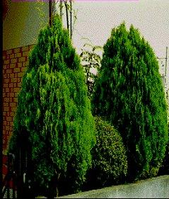 コノテガシワの育て方:花と緑のある生活|ホームセンター ...