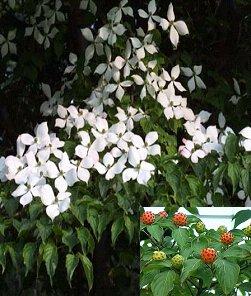 ヤマボウシの画像 p1_32